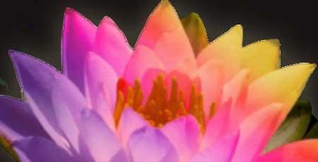 Prachtig kleurige bloem - Lotus bij de Tantratempel